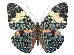 20 X UNMOUNTED BUTTERFLIES, NYMPHALIDAE, Hamadryas arinome - Natural History Direct Online Shop