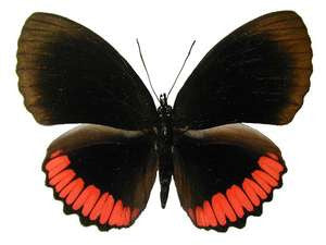 20 X UNMOUNTED BUTTERFLIES, NYMPHALIDAE, BIBLIS HYPERIA - Natural History Direct Online Shop