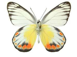 20 X UNMOUNTED BUTTERFLIES, Pieridae, Delias periboea periboea - Natural History Direct Online Shop