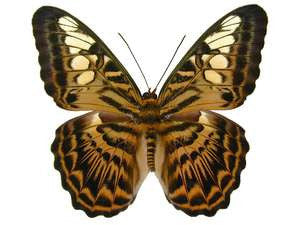 20 X UNMOUNTED BUTTERFLIES, NYMPHALIDAE,Parthenos sylvia brunnea - Natural History Direct Online Shop