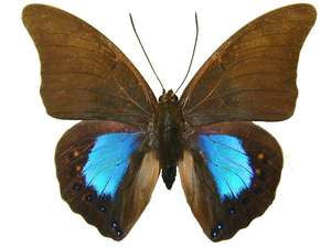 20 X UNMOUNTED BUTTERFLIES, NYMPHALIDAE,Prepona (Norepa) chromus - Natural History Direct Online Shop
