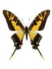 20 X UNMOUNTED BUTTERFLIES, Papilionidae,Eurytides thyastes thyastinus - Natural History Direct Online Shop
