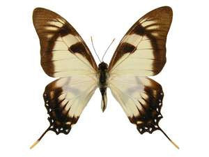 20 X UNMOUNTED BUTTERFLIES, Papilionidae,Eurytides dolicaon deileion - Natural History Direct Online Shop