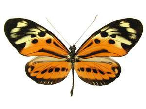 20 X UNMOUNTED BUTTERFLIES, Heliconidae/Ithomidae,Heliconius hecale versicolor - Natural History Direct Online Shop