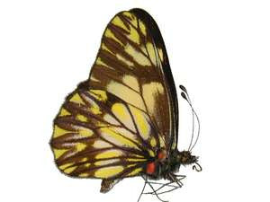 100 X UNMOUNTED BUTTERFLIES, Pieridae, CATASTICTA SPECIES MIX - Natural History Direct Online Shop