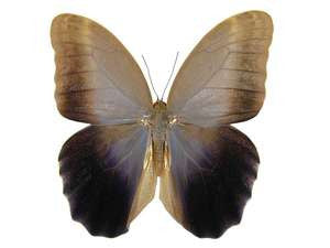 20 X UNMOUNTED BUTTERFLIES, Brassolidae,CALIGO EURILOCHUS LIVIUS - Natural History Direct Online Shop