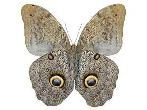 100 X UNMOUNTED BUTTERFLIES, Brassolidae, CALIGO SPECIES MIX - Natural History Direct Online Shop