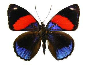 20 X UNMOUNTED BUTTERFLIES, NYMPHALIDAE, CALLICORE HYTASPES - Natural History Direct Online Shop