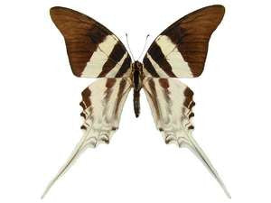 20 X UNMOUNTED BUTTERFLIES, NYMPHALIDAE,Graphium dorcas butongensis - Natural History Direct Online Shop