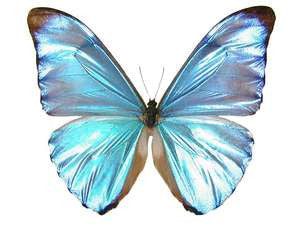 20 X UNMOUNTED BUTTERFLIES, Morphidae, Morpho aurora aureola - Natural History Direct Online Shop