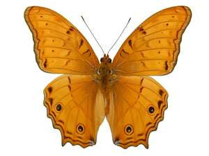 20 X UNMOUNTED BUTTERFLIES, NYMPHALIDAE,Vindula arsinoe arsinoe - Natural History Direct Online Shop