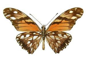 100 X UNMOUNTED BUTTERFLIES, Heliconidae/Ithomidae, Dione juno (100) - Natural History Direct Online Shop