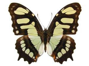 20 X UNMOUNTED BUTTERFLIES, NYMPHALIDAE,Victorina stelenes - Natural History Direct Online Shop