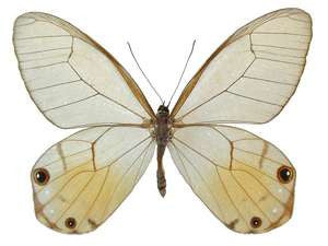 20 X UNMOUNTED BUTTERFLIES, Satyridae,Haetera piera - Natural History Direct Online Shop