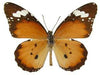 20 X UNMOUNTED BUTTERFLIES, Danaidae, ANOSIA CHRYSIPPUS - Natural History Direct Online Shop