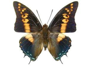20 X UNMOUNTED BUTTERFLIES, NYMPHALIDAE,Charaxes castor - Natural History Direct Online Shop