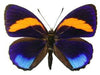 20 X UNMOUNTED BUTTERFLIES, NYMPHALIDAE, CALLICORE PASTAZZA - Natural History Direct Online Shop