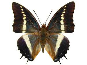 20 X UNMOUNTED BUTTERFLIES, NYMPHALIDAE,Charaxes brutus - Natural History Direct Online Shop