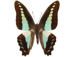 20 X UNMOUNTED BUTTERFLIES,Papilionidae,Graphium sarpedon messogis - Natural History Direct Online Shop
