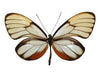 100 X UNMOUNTED BUTTERFLIES,Heliconidae/Ithomidae,Heliconid and Ithomidae species mix - Natural History Direct Online Shop