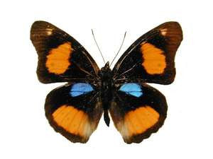 20 X UNMOUNTED BUTTERFLIES, NYMPHALIDAE, Junonia (Precis) westermanni - Natural History Direct Online Shop