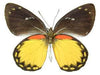 20 X UNMOUNTED BUTTERFLIES, Pieridae,Delias belisama - Natural History Direct Online Shop