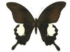 20 X UNMOUNTED BUTTERFLIES,Papilionidae, Papilio iswara - Natural History Direct Online Shop