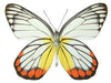 20 X UNMOUNTED BUTTERFLIES, Pieridae,Delias hyparete hyparete - Natural History Direct Online Shop