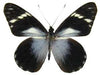 20 X UNMOUNTED BUTTERFLIES, NYMPHALIDAE,Pereute telthusa - Natural History Direct Online Shop