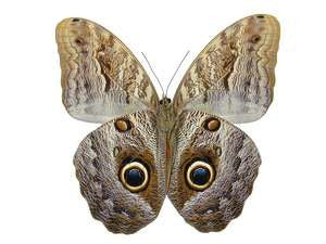 20 X UNMOUNTED BUTTERFLIES, Brassolidae, CALIGO TEUCER - Natural History Direct Online Shop