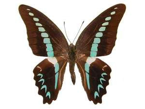 20 X UNMOUNTED BUTTERFLIES,Papilionidae,Graphium milon - Natural History Direct Online Shop