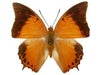 20 X UNMOUNTED BUTTERFLIES, NYMPHALIDAE, Charaxes affinis affinis - Natural History Direct Online Shop