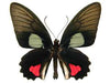 20 X UNMOUNTED BUTTERFLIES, Papilionidae,Parides species mix - Natural History Direct Online Shop