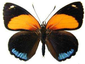 20 X UNMOUNTED BUTTERFLIES, NYMPHALIDAE, CALLICORE EUNOMIA - Natural History Direct Online Shop
