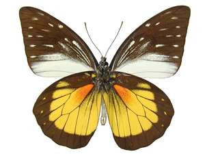 20 X UNMOUNTED BUTTERFLIES, Pieridae,Prioneris hypsipyle - Natural History Direct Online Shop