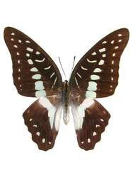 20 X UNMOUNTED BUTTERFLIES, Papilionidae, Graphium euryplus pamphylus - Natural History Direct Online Shop