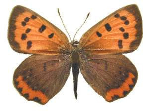 20 X UNMOUNTED BUTTERFLIES, Lycaenidae, Lycaena phlaes americana - Natural History Direct Online Shop