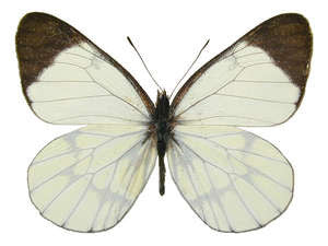 20 X UNMOUNTED BUTTERFLIES, Pieridae, CATASTICTA CORCYRA STAUDINGERI - Natural History Direct Online Shop