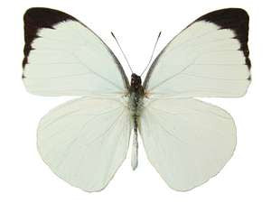 20 X UNMOUNTED BUTTERFLIES, NYMPHALIDAE,Pieris (Nepheronia) argia - Natural History Direct Online Shop