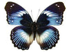 20 X UNMOUNTED BUTTERFLIES, NYMPHALIDAE,Hypolimnas salmacis - Natural History Direct Online Shop