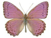 20 X UNMOUNTED BUTTERFLIES, NYMPHALIDAE,Sallya (Crenis) pechueli - Natural History Direct Online Shop