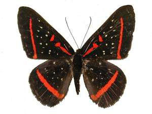 20 X UNMOUNTED BUTTERFLIES, Riodinidae, AMAYRNTHIS MENERIA - Natural History Direct Online Shop