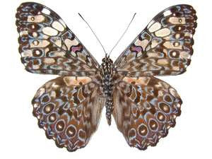 20 X UNMOUNTED BUTTERFLIES, NYMPHALIDAE,Hamadryas feronia - Natural History Direct Online Shop