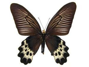 20 X UNMOUNTED BUTTERFLIES, Papilionidae, ATROPHANEURA PRIAPUS PRIAPUS - PAIRS - Natural History Direct Online Shop