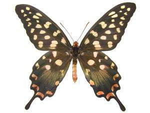 20 X UNMOUNTED BUTTERFLIES, Papilionidae,Papilio antenor - Natural History Direct Online Shop