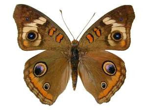 20 X UNMOUNTED BUTTERFLIES, NYMPHALIDAE, Junonia coenia - Natural History Direct Online Shop