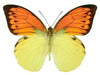 20 X UNMOUNTED BUTTERFLIES, Pieridae, Hebomoia leucippe leucippe - Natural History Direct Online Shop