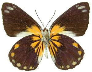 20 X UNMOUNTED BUTTERFLIES,Pieridae, BELENOIS JAVA JAVA - Natural History Direct Online Shop