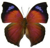 20 X UNMOUNTED BUTTERFLIES, NYMPHALIDAE,Salamis anteva - Natural History Direct Online Shop