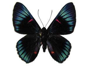 20 X UNMOUNTED BUTTERFLIES, Riodinidae, Necyria westwoodi - Natural History Direct Online Shop